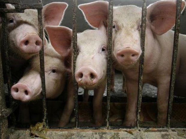 luciano porcos-na-jaula