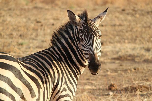 luciano zebra-175085 640