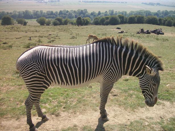 luciano zebra