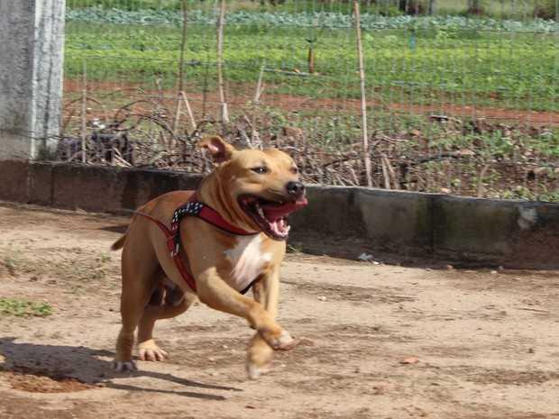 Após maus-tratos, 56 pit bulls se recuperam e aguardam adoção