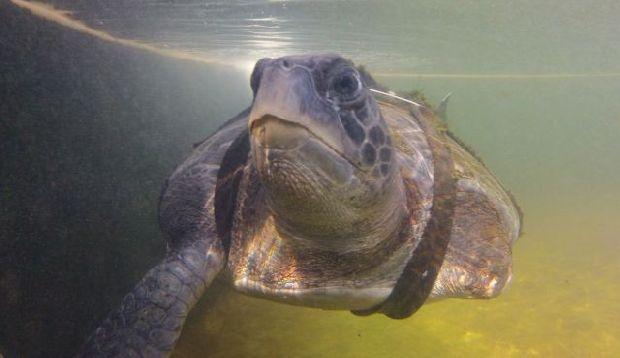 Tartaruga marinha tem patas amputadas, mas volta a nadar graças a barbatanas artificiais