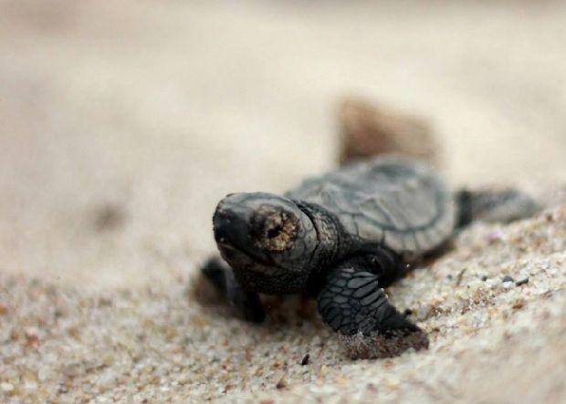 Voluntários fazem monitoramento noturno dos ninhos de tartarugas