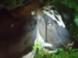 Animais resgatados de farra-do-boi são enviados a matadouro