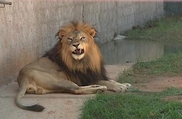 Morre terceiro animal do zoológico de Araçatuba (SP) só neste ano: o leão Bira