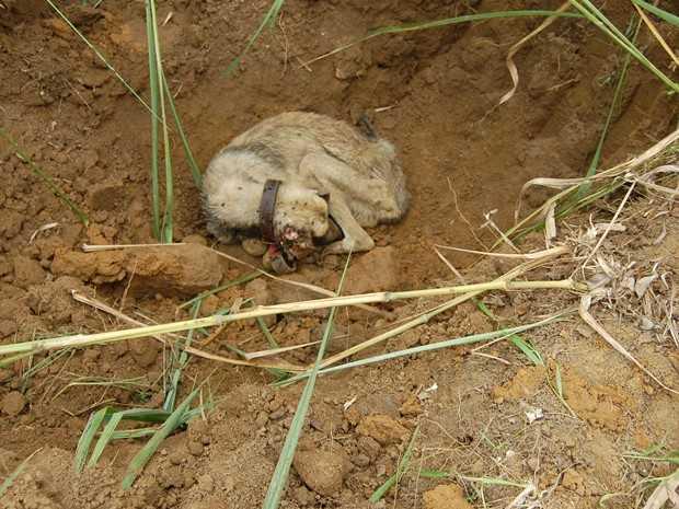 Morre cão resgatado após ter sido jogado vivo em 'cova' em Registro, SP
