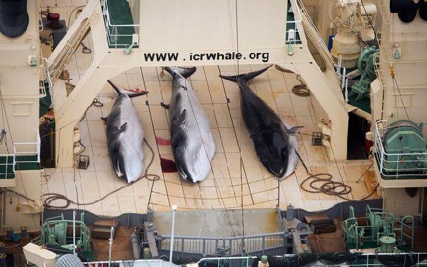 Corte Internacional proíbe o Japão de caçar baleias no Oceano Antártico