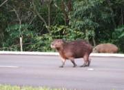 SE atropelamento-de-animais-silvestres2 thumb