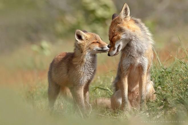 Raposas selvagens: fotógrafa holandesa consegue imagens incríveis