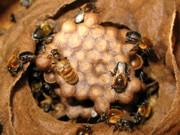 O refúgio de um terço das abelhas tropicais está ameaçado