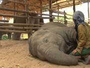 VÍDEO: Mulher canta canção de ninar para elefante que cai no sono e chega até a roncar
