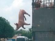 CHINA Pig-escape1 thumb