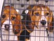 Testes em animais: Câmara Federal rejeita proibição total e substitui por restrições