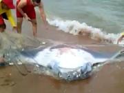Arraia gigante é encontrada na Praia de Camburi, em Vitória, ES