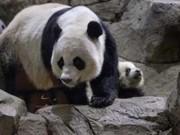 Animais são explorados para prever resultados da Copa; China proíbe uso de pandas