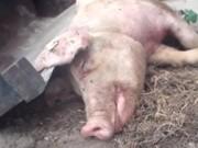 Vídeo inédito de ativistas mostra porcos agonizando
