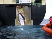 Japão caça 30 baleias na primeira pesca desde proibição da CIJ