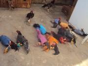 Onze são detidos durante rinha de galo em Patrocínio, MG
