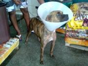 Amigos buscam ajuda para pagar tratamento para cadela com câncer
