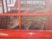 Filhote de anta é capturado pelos bombeiros em cidade de Mato Grosso