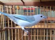 Aves canoras são os animais mais traficados na Paraíba, diz veterinário