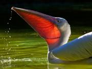 PERU pelicano 4370536 thumb