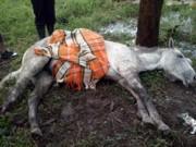 Em Pinhais, sociedade protetora encontra cavalo com pata fraturada