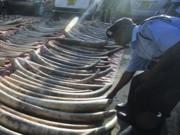 Mais de 200 presas de elefante apreendidas no Quênia
