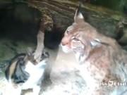 Gato invade zoológico e tornar-se amigo de lince
