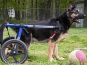 Cães com deficiência ganham mobilidade em cadeiras de roda