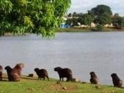 Retirada de capivaras de lago municipal gera polêmica em Ipaussu, SP
