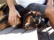 Leishmaniose: tutores de cães recusam-se a entregar animais