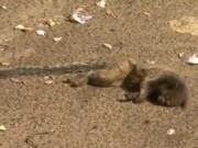 Saguis morrem atropelados em frente parque de Ribeirão Preto, SP