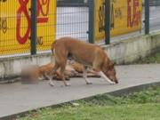 Cão morre, 'companheiro' protege o corpo e não deixa que se aproximem