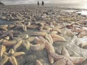 Estrelas-do-mar estariam dissolvendo até a morte e cientistas não sabem o porquê
