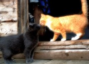 Você sabia que os gatos também podem contrair Aids e leucemia?