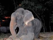 INDIA elefante raju-1 thumb