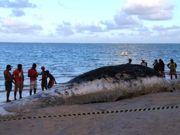 AL baleias Baleia-Maragogi thumb
