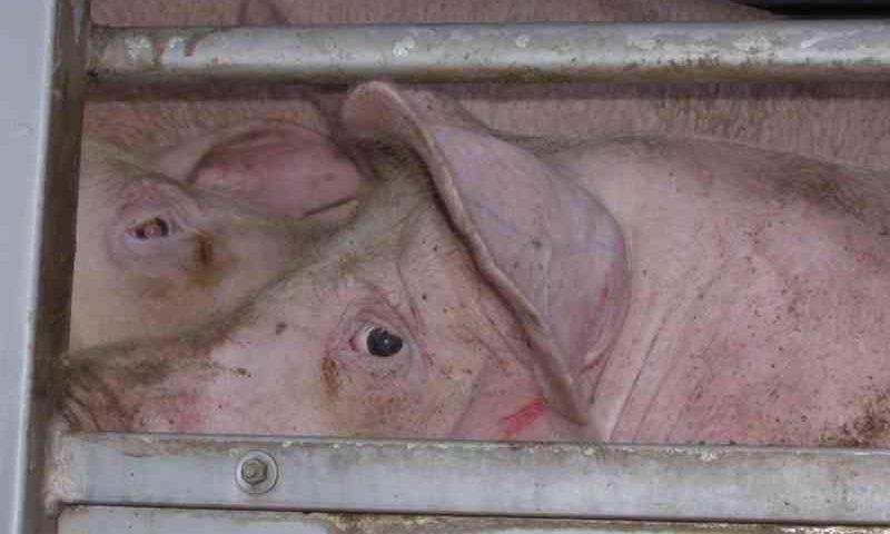 Dia de matar o porco