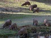Remoção das capivaras na Lagoa da Pampulha começa na segunda-feira
