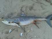 Tubarão é encontrado morto na Praia da Barra de São Miguel, em Alagoas