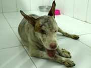 Pitbulls ficam cegos após ataque no AM: 'foi um exagero', diz veterinário