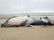 BA belmonte baleia-jubarte-praia-belmonte thumb