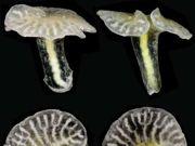 Animal marinho da Austrália pode revolucionar zoologia