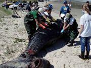 Saiba o que fazer quando uma baleia encalhar na praia