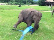 Video: Elefante se diverte brincando com 'fita' azul
