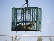 Leões são retirados de Gaza depois de zoológico ser bombardeado