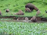 Começa o trabalho para retirada das capivaras que vivem na Lagoa da Pampulha, BH
