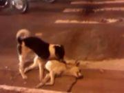 Vídeo: cão tenta salvar cachorrinho atropelado em Contagem, MG