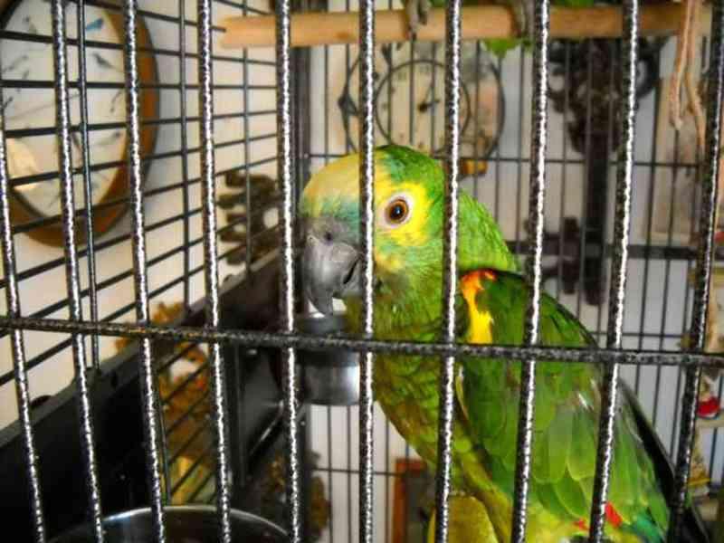 Papagaios em cativeiro