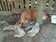 Homem é autuado por arrastar e espancar cachorro de vizinha, no PA